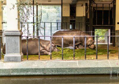 Zoo Antwerpen – Nijlpaarden